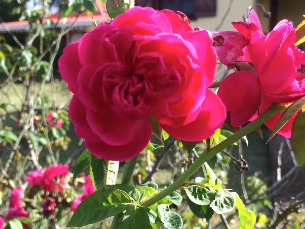 rose Villa Mad Carl