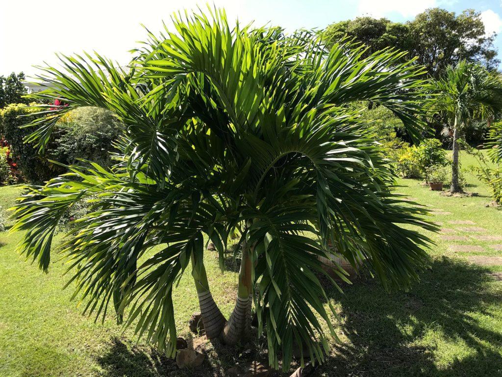 palmier la cithare residence Elmire